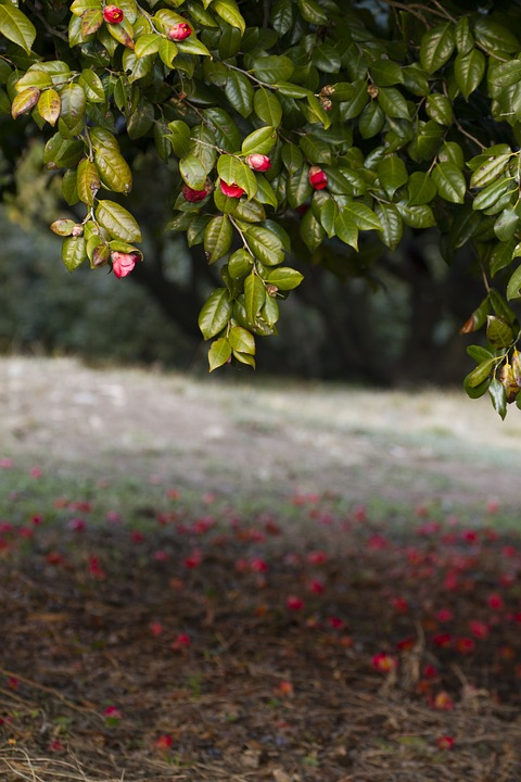 Nature, Leaf, Wood, Plants, Outdoors, Camellia