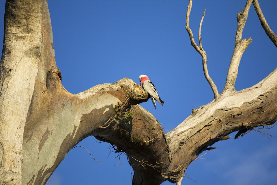 Tree, Nature, Outdoors, Wildlife, Bird, Galah