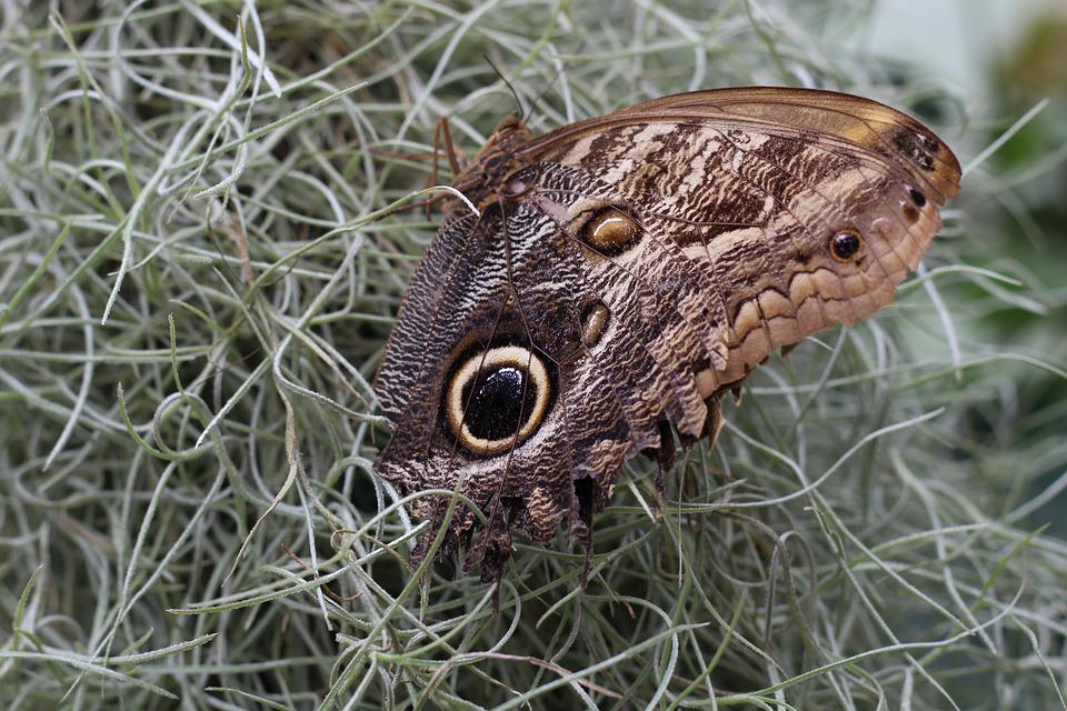Butterfly, Nature, Eye, Owl Butterfly, Caligo Memnon