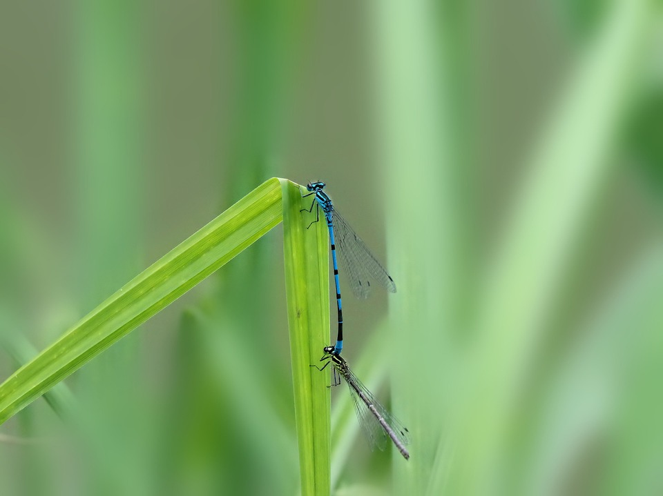 Dragonflies, Pairing, Nature, Dragonfly, Insect