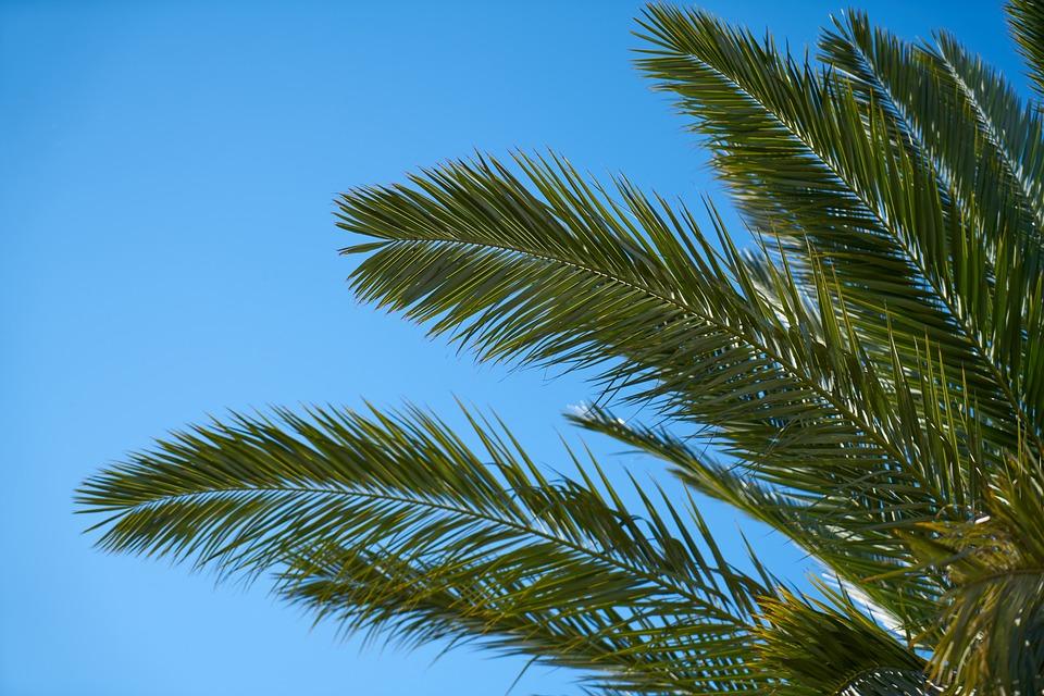 Palm, Tree, Palm Tree, Nature, Tropical, Leaves, Plant