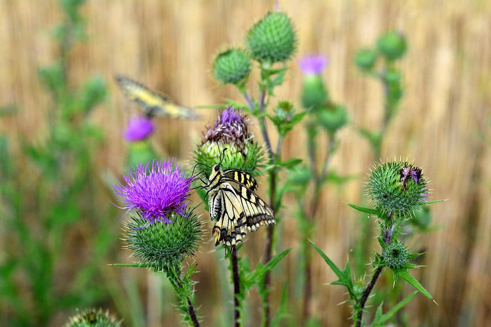 Butterfly, Dovetail, Papilio, Summer, Nature