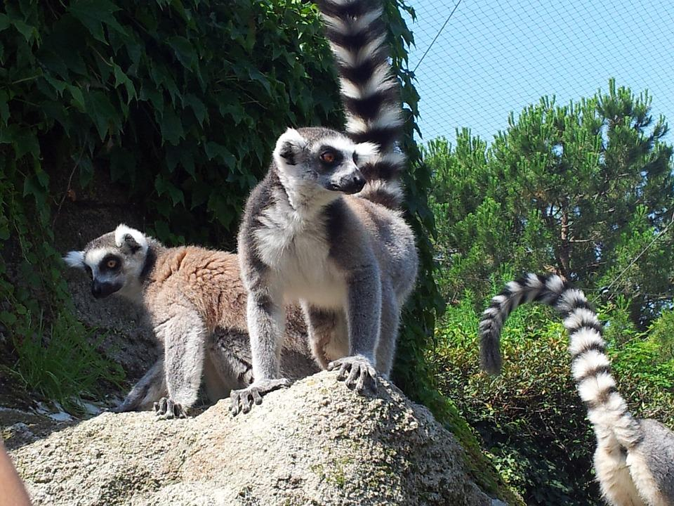 Raccoons, Animals, Park, Zoo, Nature
