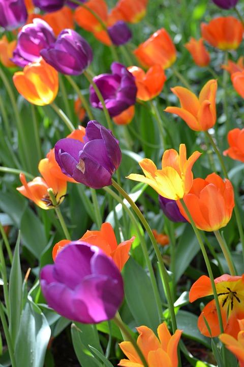 Flowers, Tulips, New York, Park, Landscape, Nature