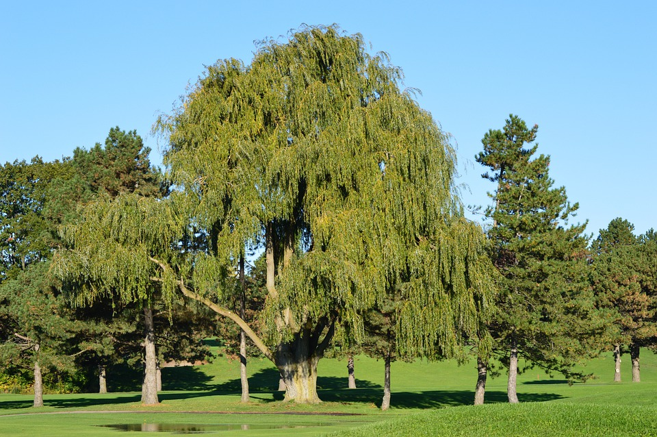 Willow, Tree, Nature, Park, Branch, Branches, Leaf