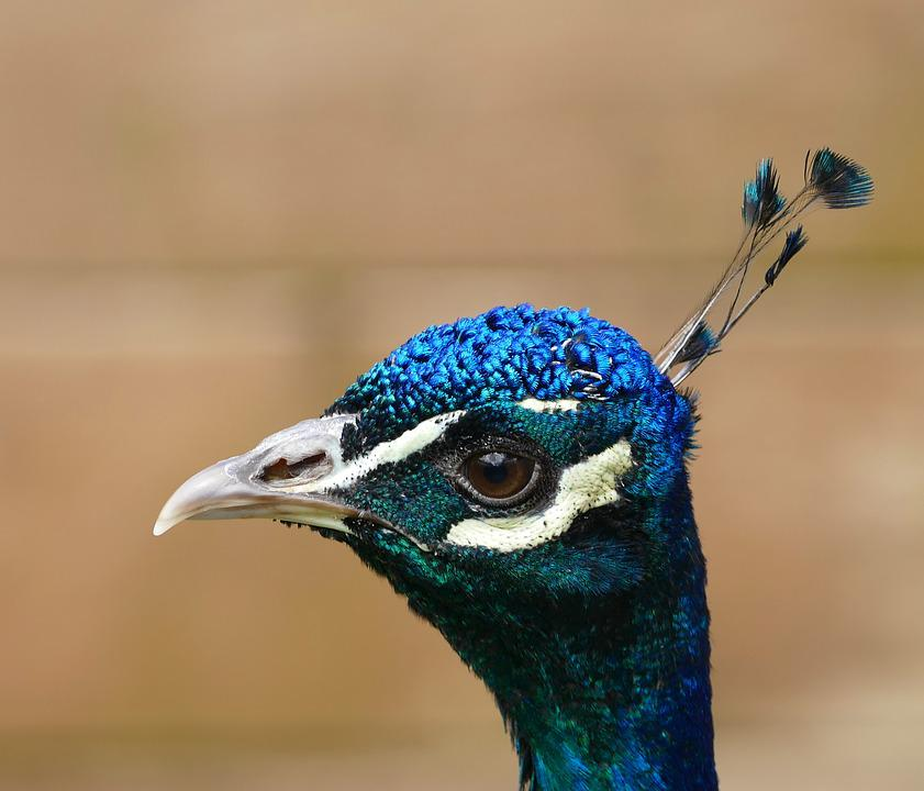 Peacock, Bird, Feather, Pattern, Nature, Animal, Tail