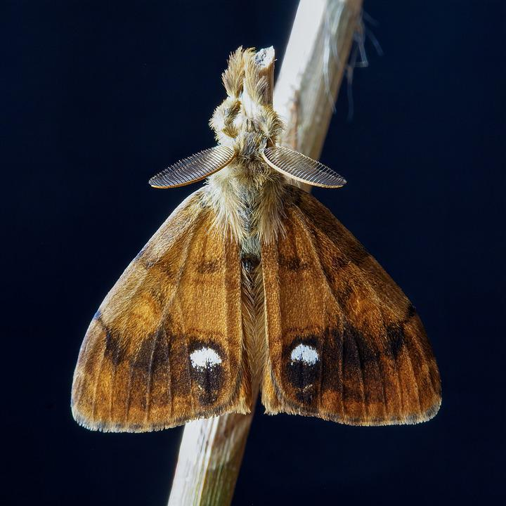 Moth, Vapourer, Wings, Pattern, Hairs, Nature