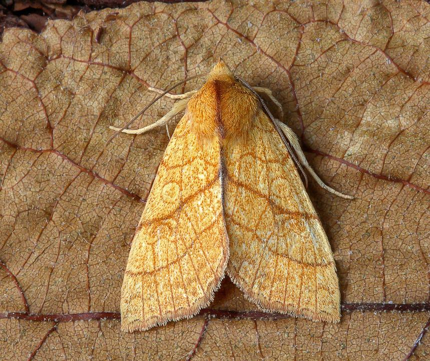 Moth, Orange-sallow, Wings, Pattern, Insect, Nature