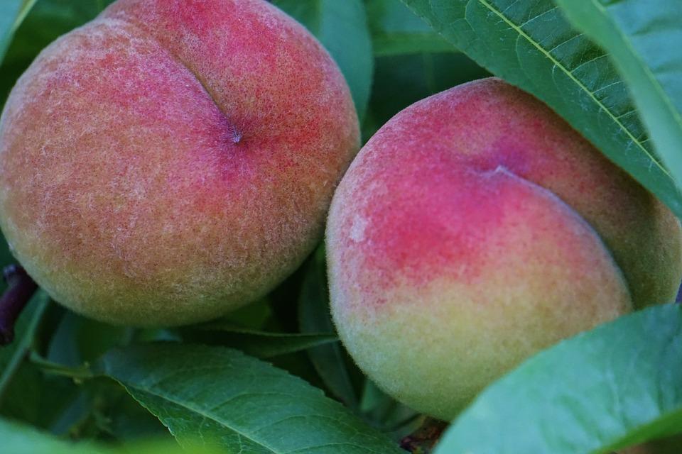 Peaches, Tree, Ripe, Nature, Fruit, Fruit Tree, Garden