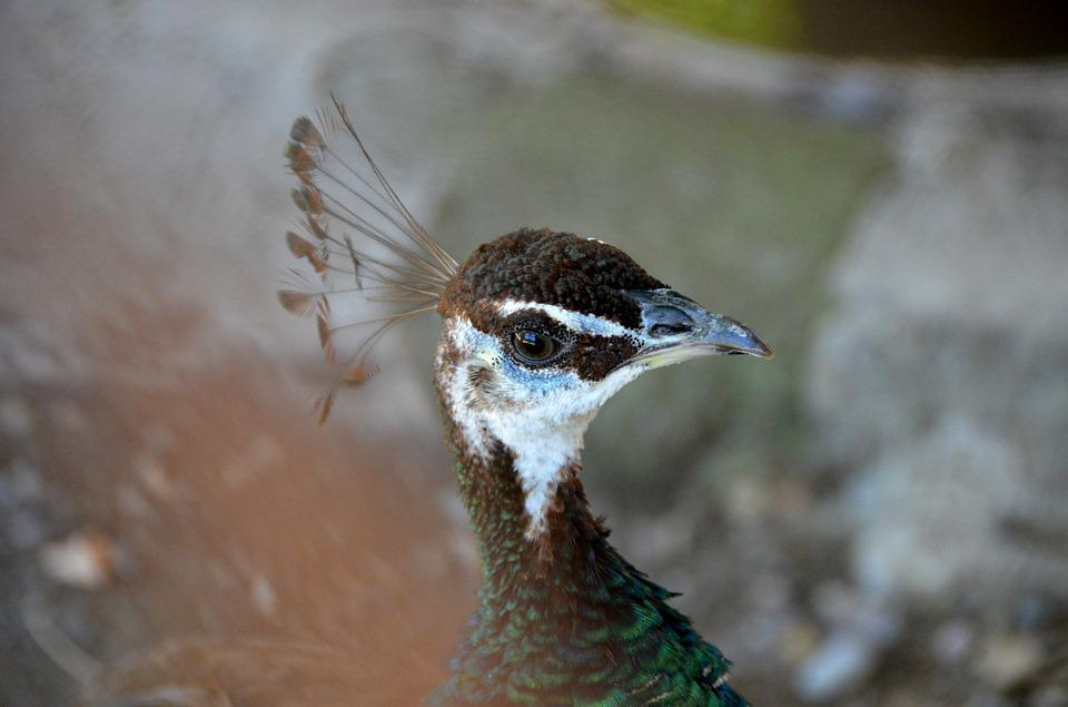 Peacock, Fauna, Bird, Nature, Animal, Pen, Beak, Head