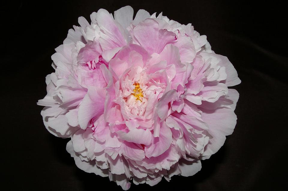 Peony, Pink, Blossom, Flower, Nature, Flora, Summer