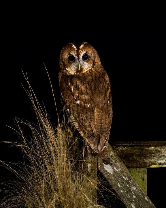 Owl, Bird, Night, Perched, Gate, Grass, Animal, Nature