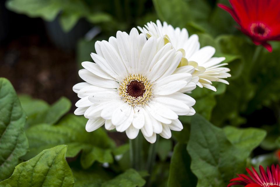 Gérbela White, Flower, Plant, Nature, Petal