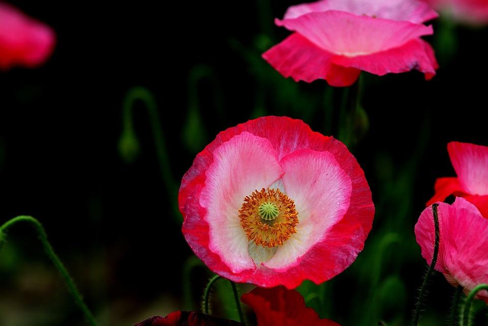 Flowers, Nature, Plants, Petal