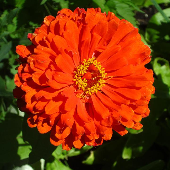 Zinnia, Flower, Nature, Petals Orange, Plant
