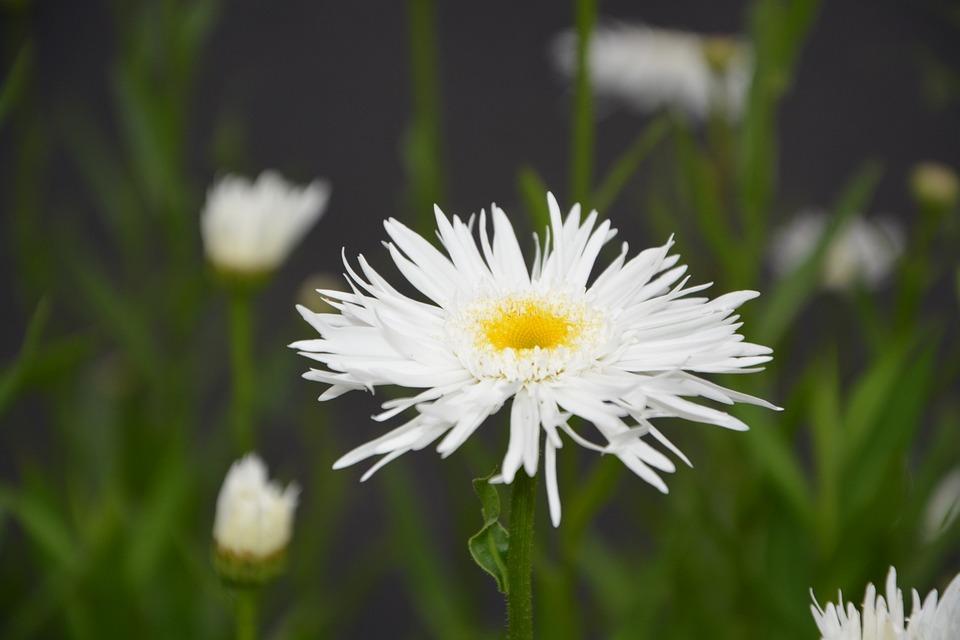 White Flower, Nature, Paquerette Flower, Petals, Garden