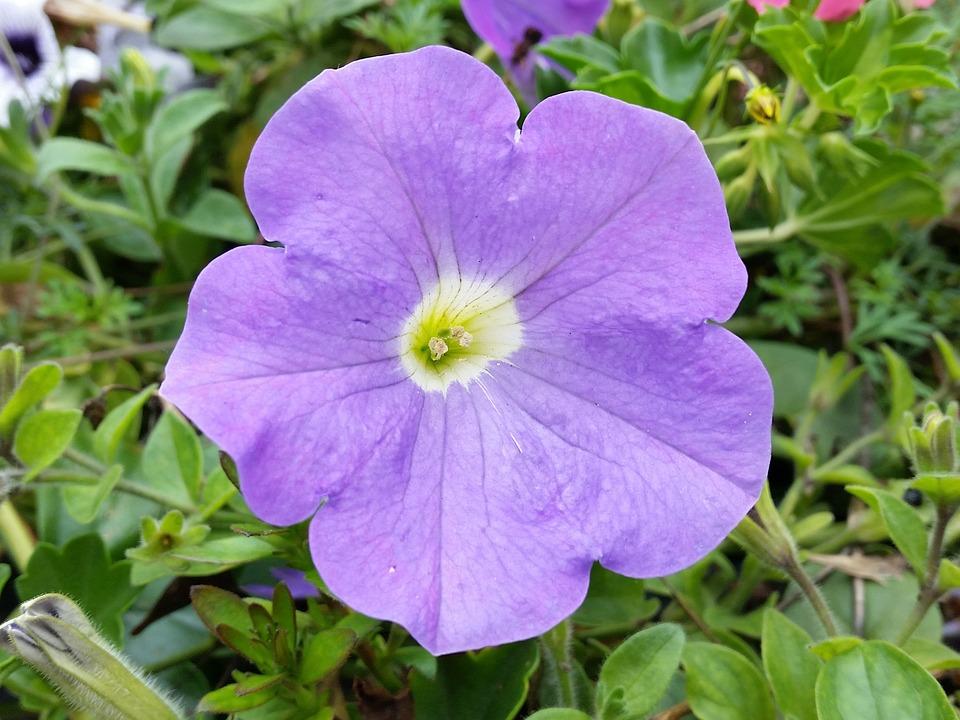 Petunia, Blue, Flower, Nature, Garden, Summer