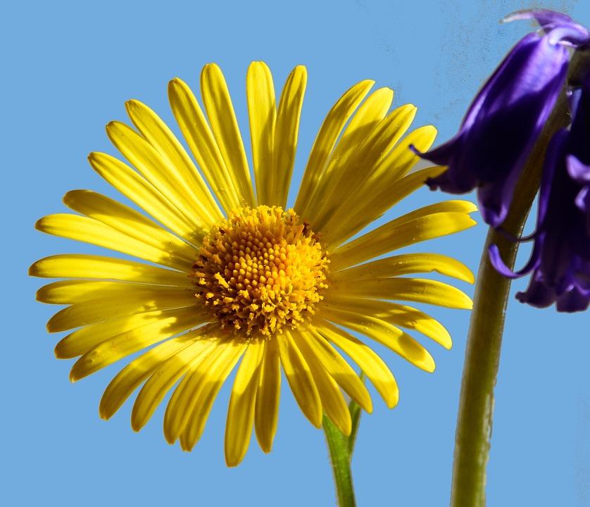Peucedanum, Daisy Flower, Perennials, Flower, Nature