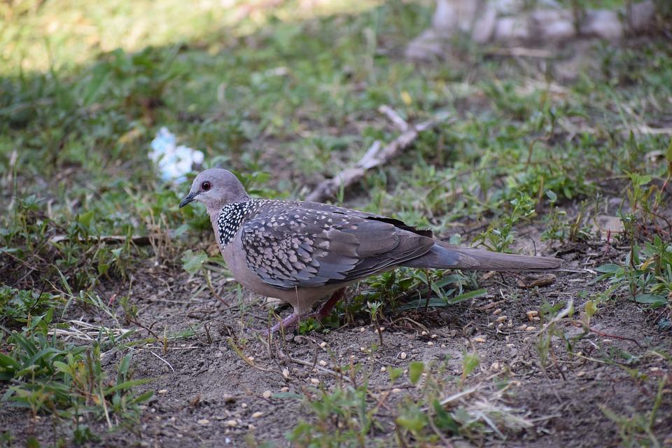 Dove, Bird, Pigeon, Animal, Nature, Wings, Flying