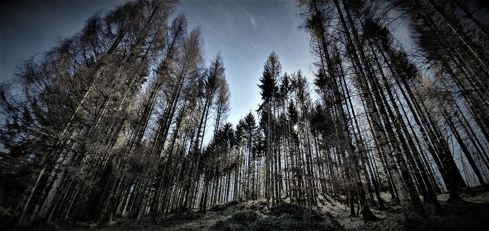 Pine, Forest, Trees, Nature, Wood, Coniferous