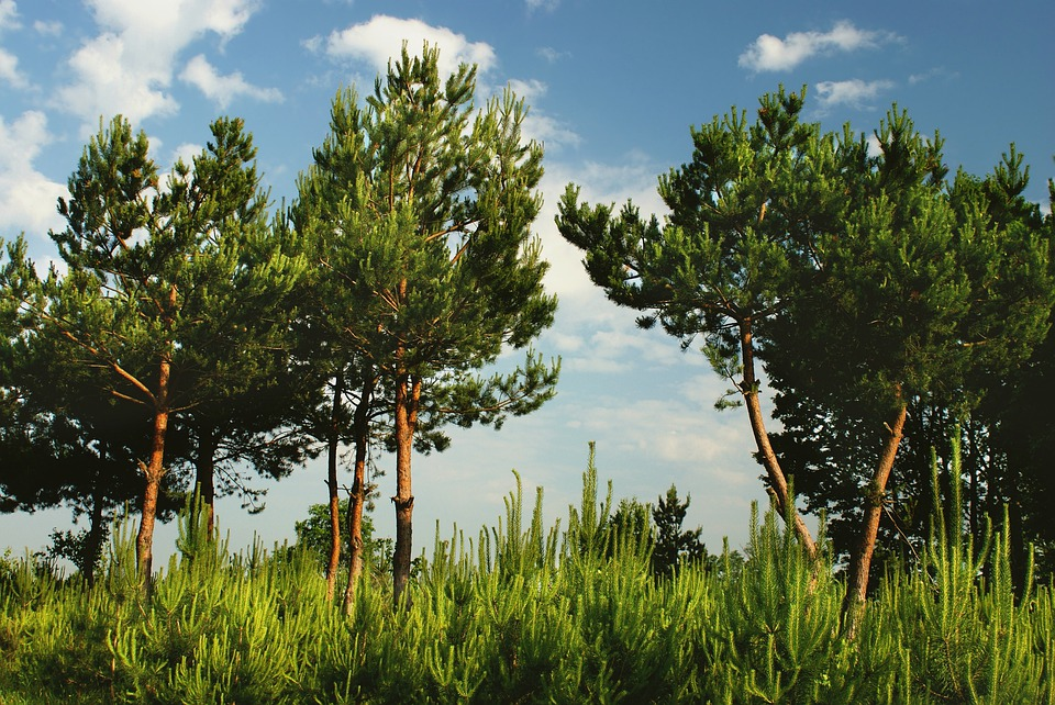 Pine, Green, Forest, Nature, Tree, Landscape, Mountains