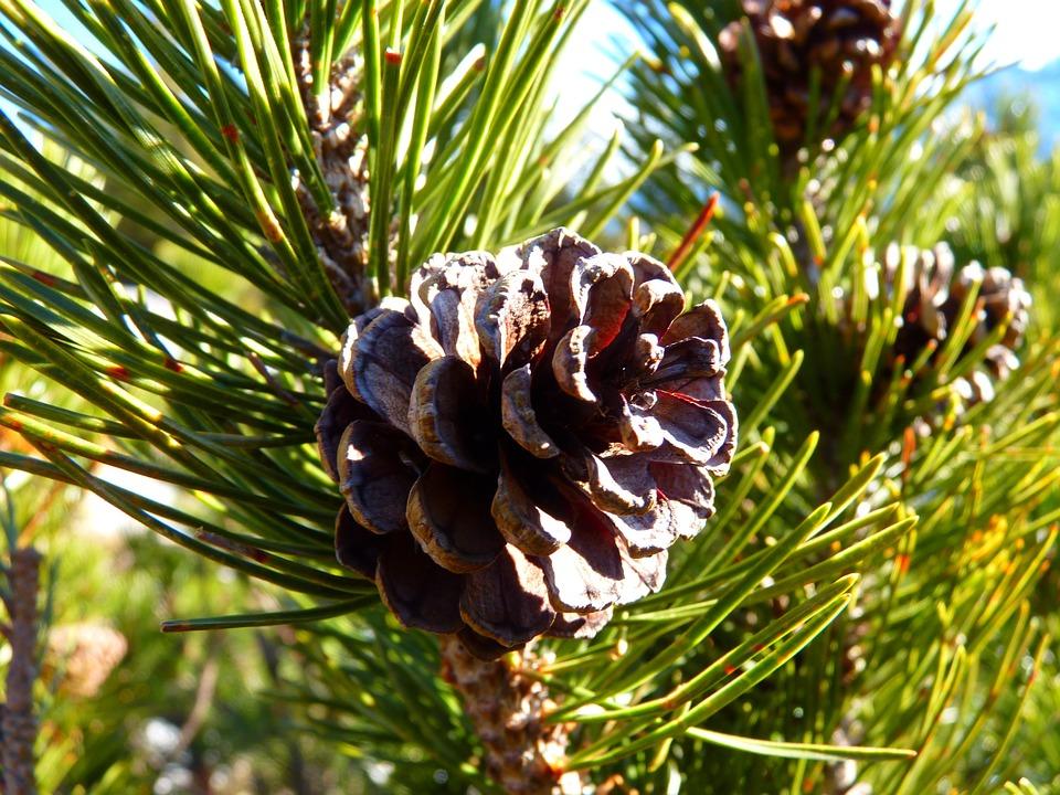 Mountain Pine, Tap, Pine, Nature