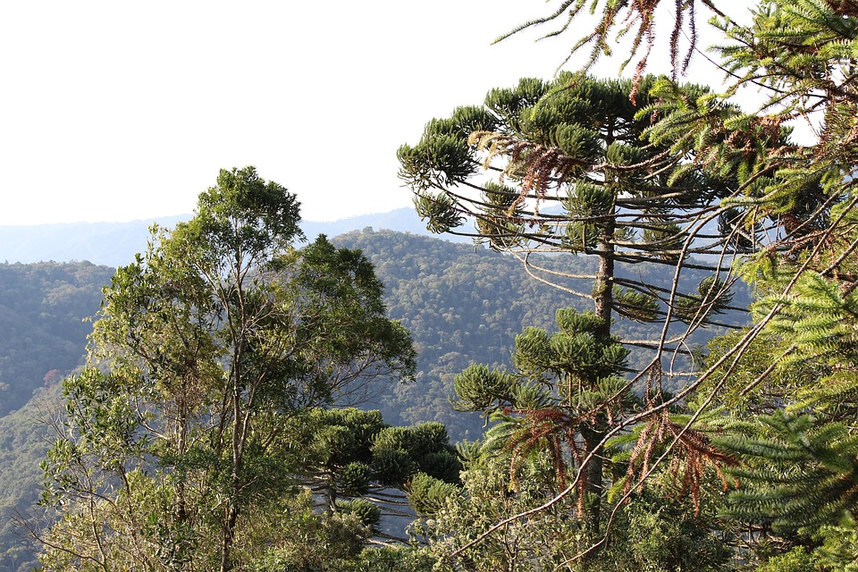 Nature, Santo Antonio Do Pinhal, Pinheiro