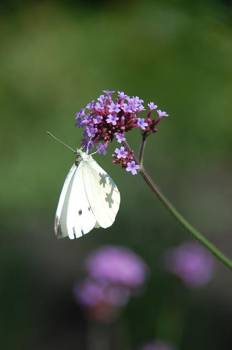 Butterfly, Flower, Nature, Flowers, Pink, Lilac, White
