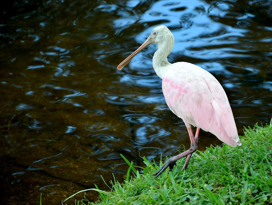 Spoonbill, Tropical, Bird, Pink Color, Nature, Wildlife