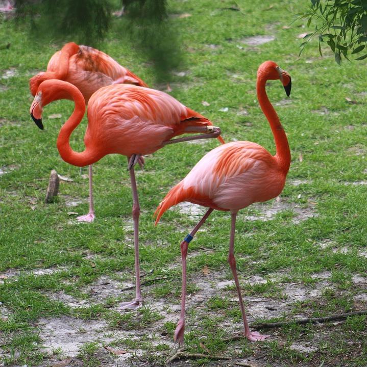 Flamingo, Flamingos, Pink, Bird, Nature, Tropical