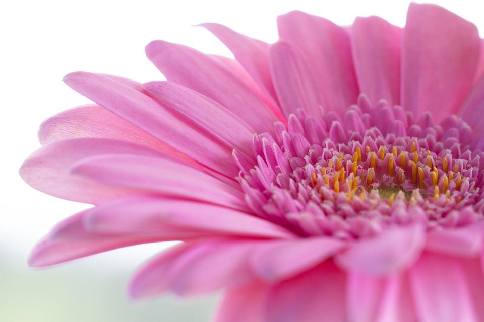 Gerbera, Flower, Nature, Blossom, Bloom, Pink