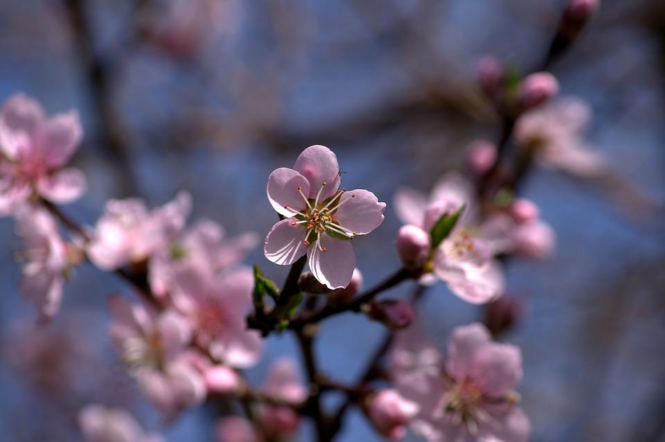 Flower, Pink, Fruit Tree, Nature