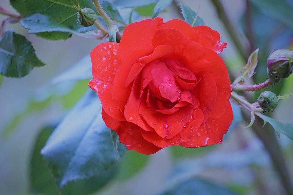 Flower, Pink, Flora, Pink Flowers, Nature, Pink Flower