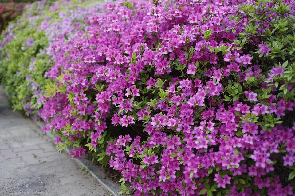 Free photo nature pink flower plants spring flowers azalea max pixel plants nature spring flowers azalea pink flower mightylinksfo