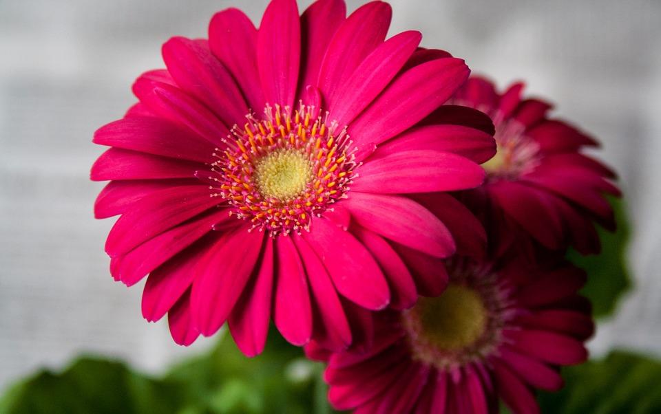 Flower, Summer, Garden, Nature, Gerbera, Spring, Pink