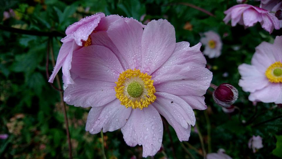 Pink Flower, Pink, Flower, Water Drops, Drops, Nature