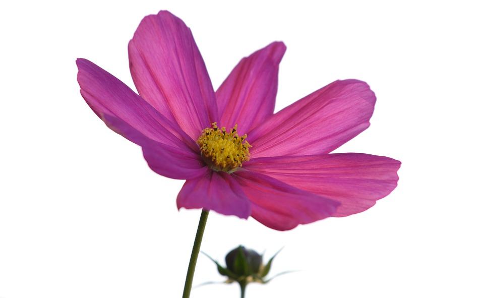 Flower, Cosmos, Nature Pink, Purple, Petals