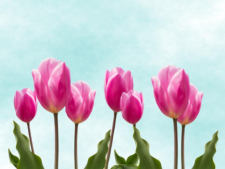 Flowers, Nature, Tulips, Beautiful, Garden, Pink