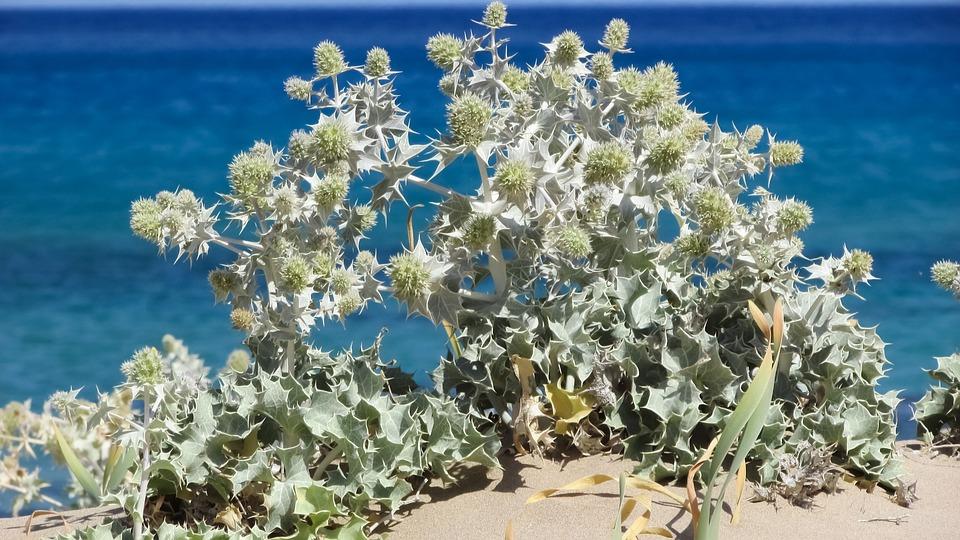 Plant, Ammophilous, Thorns, Sand, Dunes, Beach, Nature