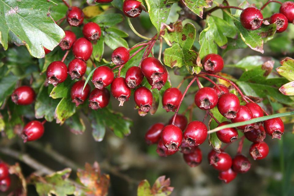 Hawthorn, Berries, Red, Haws, Nature, Fruit, Plant