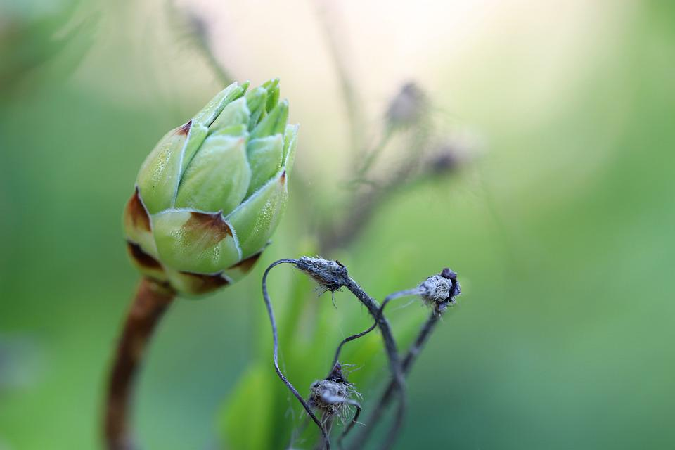 Bud, Macro, Flower, Nature, Plant, Summer, Bloom, Green