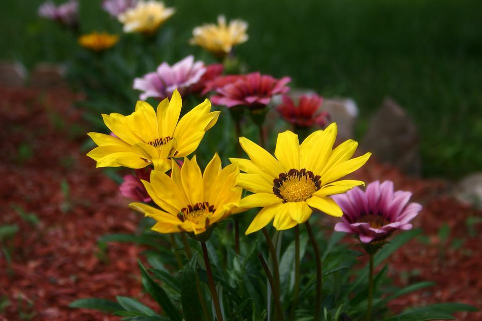 Gazanias, Flowers, Plant, Colorful, Blooming, Nature