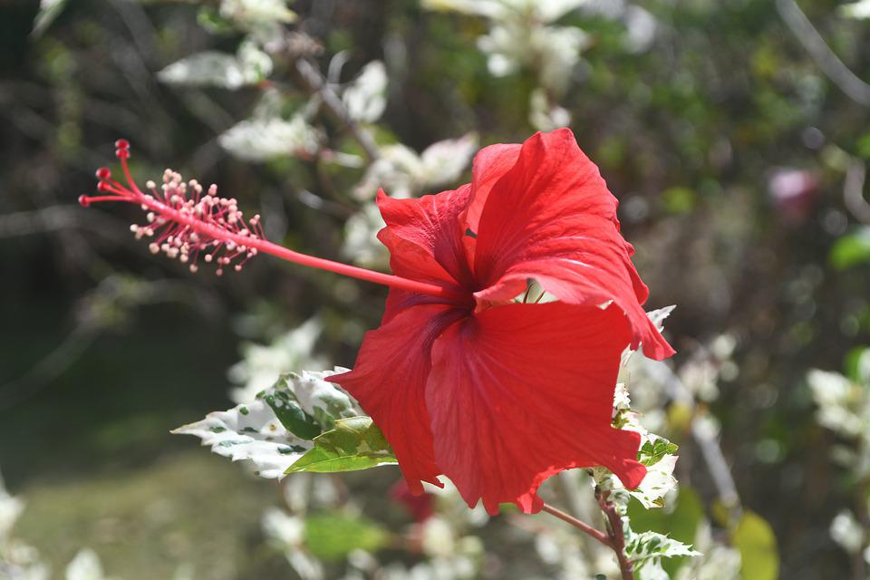 Flower, Flowers, Poppy, Nature, Plant, Botany, Flora