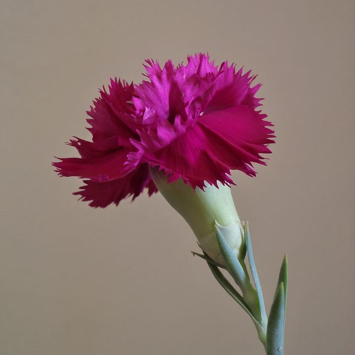 œillet, Flower, Petals, Plant, Color Pink, Nature