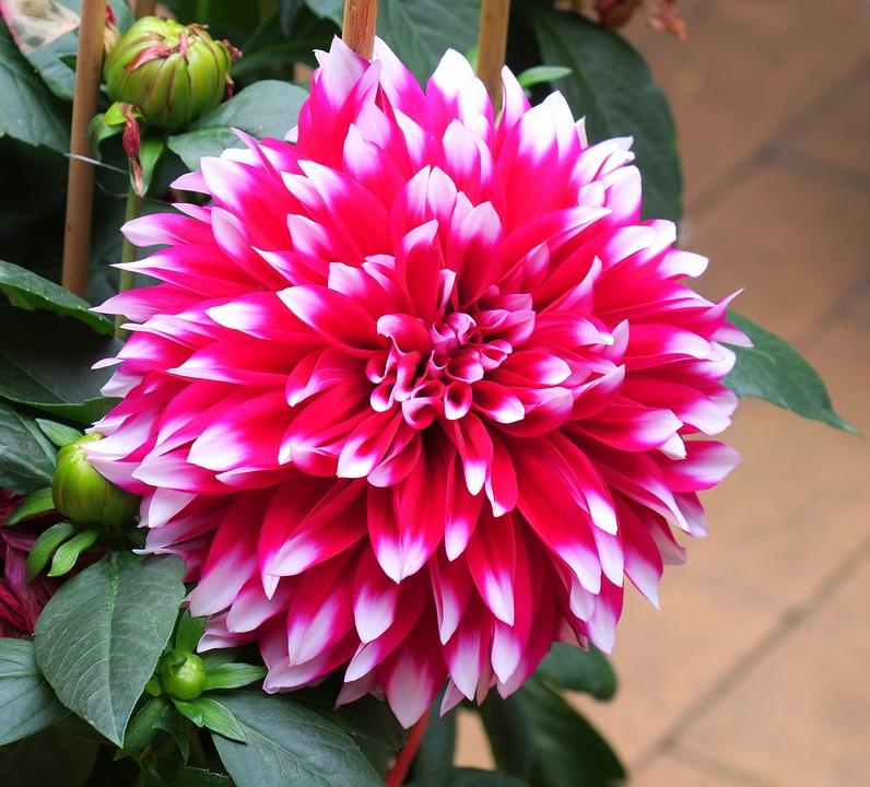 Flower, Plant, Garden, Nature, Leaf, Petal, Dahlia