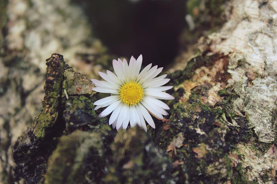 Daisy, Flower, Blossom, Bloom, Plant, Nature, Close