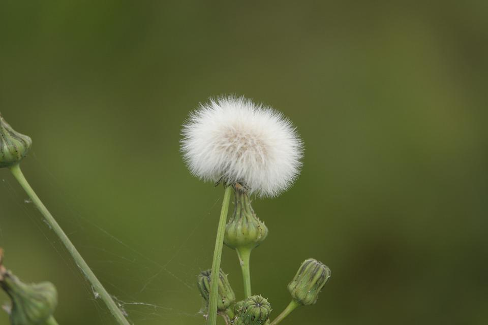 Dandelion, Bud, Flower, Plant, Nature