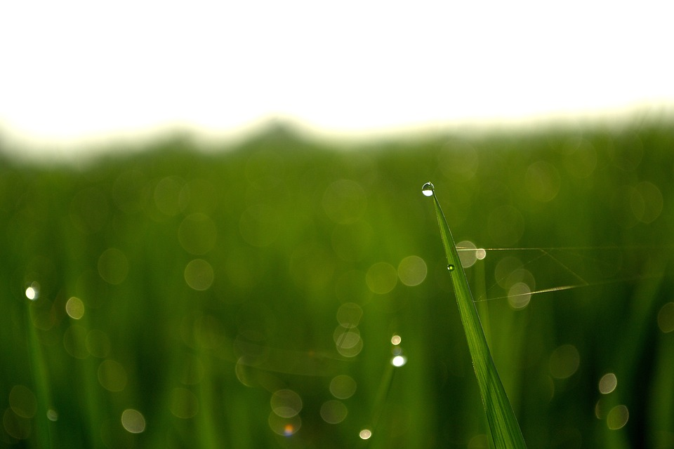 Dew, Drops Of Water, Nature, Cornfield, Green, Plant