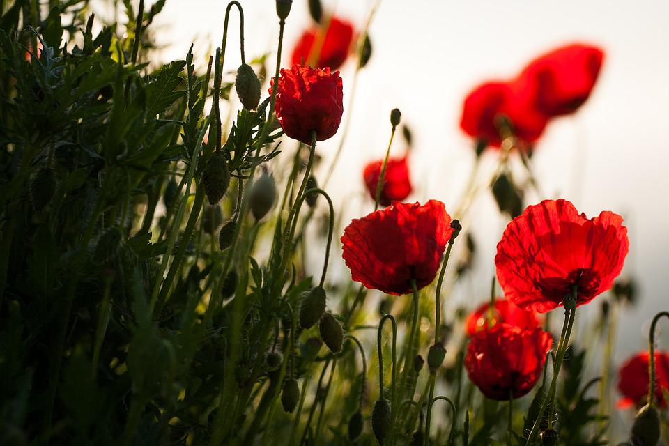 Flowers, Nature, Meadow, Poppies, Field, Plant