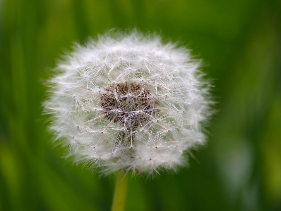 Dandelion, Flora, To, Nature, Plant, Garden, Close Up